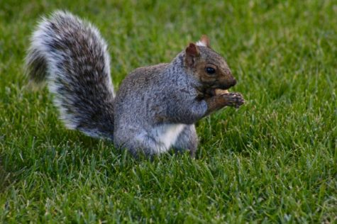 A squirrel nibbles on a snack given to it by Sue Dreyer, UMass employee. (Caeli Chesin)