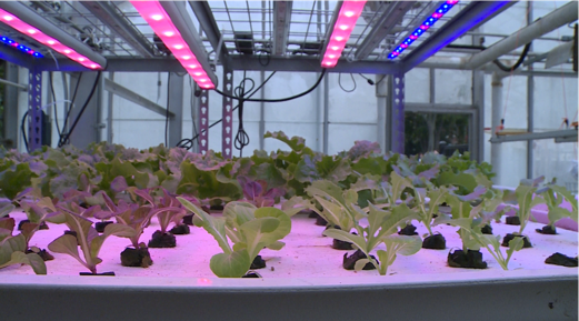 Greens flourish under LED lights during the evening at the Clark Hall Greenhouse.