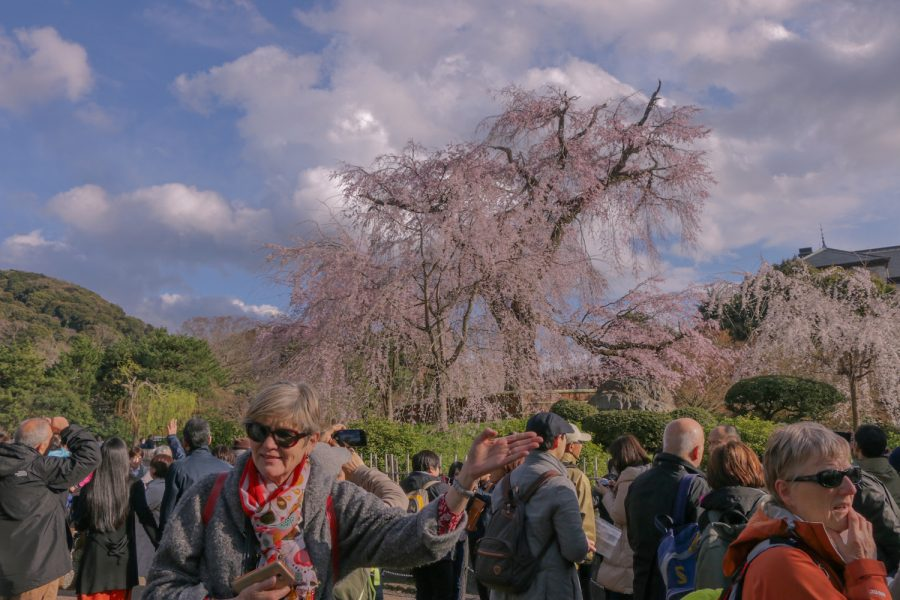 Kyoto Hanami: The blooming cherry blossoms of Kyoto, Japan